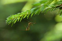 El mosquito se sienta en una rama del abeto Fotografía de archivo