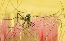 El mosquito y el pelo negro es una imagen macra hermosa Foto de archivo
