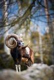 El mouflon fotografía de archivo libre de regalías