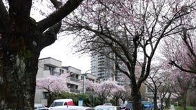 El movimiento de la cereza rosada florece la floración en primavera