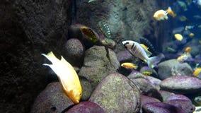 El movimiento de pescados tropicales hermosos con el océano azul riega metrajes