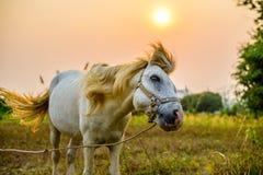 El movimiento del caballo blanco Imagenes de archivo