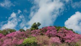 El movimiento del lapso de tiempo se nubla con el flor de la cereza Himalayan salvaje almacen de metraje de vídeo