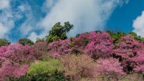 El movimiento del lapso de tiempo se nubla con el flor de la cereza Himalayan salvaje almacen de video