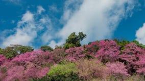 El movimiento del lapso de tiempo se nubla con el flor de la cereza Himalayan salvaje metrajes