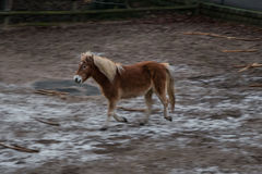El movimiento galopping marrón del caballo del potro de la isla empañó el fondo fotos de archivo