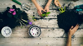 El muchacho ayuda a padres a plantar las flores en potes Manos del primer que plantan las flores en potes en la primavera metrajes