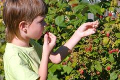 El muchacho come las frambuesas, rasgándolo de los arbustos en el país foto de archivo
