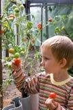 El muchacho cosecha los tomates Fotografía de archivo libre de regalías