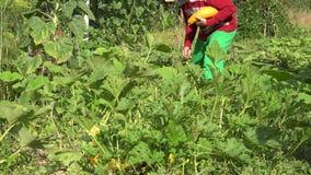 El muchacho del hombre del jardinero con el calabacín del corte del sombrero da fruto con el cuchillo y los lleva en huerto 4K metrajes