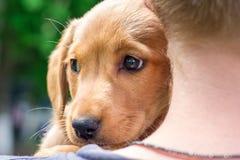 El muchacho lleva a cabo en sus hombros una pequeña raza del perro del spaniel_ del cocker foto de archivo