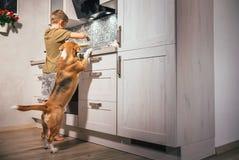 El muchacho prepara la tortilla para sí mismo pero el perro del beagle mira cuidadosamente foto de archivo