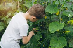El muchacho que se sostenía recientemente escogió del pepino del jardín fotografía de archivo
