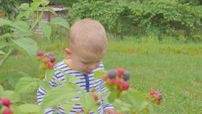 El muchacho rasga las frambuesas de los arbustos y las come en el jardín 4K metrajes