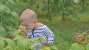El muchacho rasga las frambuesas de los arbustos y las come en el jardín 4K almacen de video