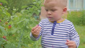 El muchacho rasga las frambuesas de los arbustos y las come en el primer del jardín 4K almacen de video