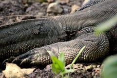 El mudar del lagarto de monitor salvaje en Singapur fotos de archivo