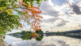 El muelle escénico del río en los suburbios con las ramas rojas del poinciana real florece Fotos de archivo