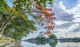 El muelle escénico del río en los suburbios con las ramas rojas del poinciana real florece Foto de archivo