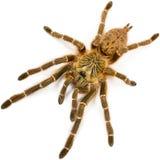El murinus DCF de Pterinochilus de la araña del babuino imagen de archivo libre de regalías