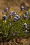 El muscari azul florece (el jacinto de uva) Fotografía de archivo libre de regalías