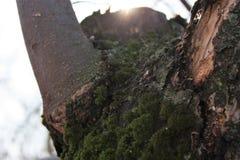 El musgo crece pesadamente en la corteza de un manzano viejo y crea una textura atractiva fotos de archivo libres de regalías