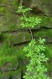 El musgo cubrió la pared de piedra con la vid fotografía de archivo
