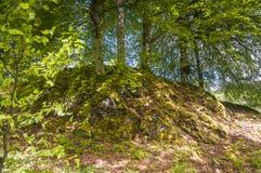 El musgo cubrió raíces Fotografía de archivo libre de regalías