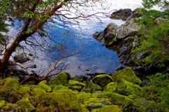 El musgo cubrió rocas y el árbol del arbutus en la orilla fotos de archivo