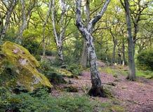 El musgo del iwith del bosque del abedul y del roble cubrió los cantos rodados Fotografía de archivo