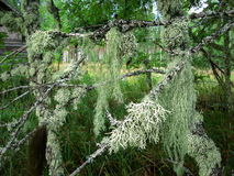 El musgo en el árbol Imagen de archivo libre de regalías