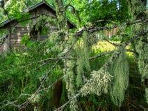 El musgo en el árbol en el bosque el verano Imagen de archivo