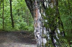 El musgo en el tronco del fondo de la macro del abedul Foto de archivo libre de regalías