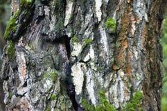 El musgo en el tronco del fondo de la macro del abedul Fotos de archivo