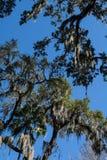 El musgo español cubrió árboles contra el cielo azul brillante imagen de archivo libre de regalías
