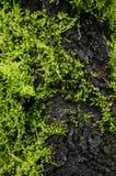 El musgo está en el árbol Fotografía de archivo libre de regalías
