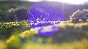 El musgo hermoso está tomando el sol en el sol Flora del terreno montañoso metrajes