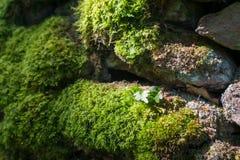 El musgo se encendió por luz del sol en una pared de piedra seca Imagen de archivo libre de regalías