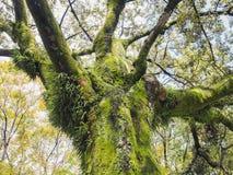El musgo verde en la corteza de árbol Lichen Branch sale del bosque Foto de archivo