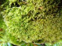 El musgo verde hermoso Imagen de archivo libre de regalías
