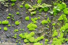 El musgo verde mojado en rocas oscuras Imágenes de archivo libres de regalías