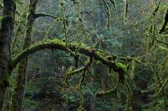 El musgo y el helecho cubrieron ramas de los árboles de arce Foto de archivo libre de regalías