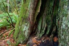 El musgo y el liquen huecos cubrieron el tronco del árbol de cedro en un barranco en el parque de Goldstream Fotografía de archivo