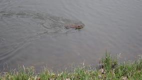 El Muskrat nada en agua almacen de metraje de vídeo