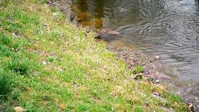 El Muskrat nada y después se zambulle en agua en una charca o un río metrajes