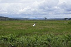 El mycteria o el pecado gallan ventura de Jabirú es el pájaro de vuelo más grande de América Fotografía de archivo