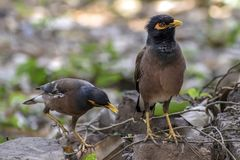 El myna común, myna indio, es un miembro de los estorninos y de los mynas del Sturnidae de la familia nativos a Asia foto de archivo libre de regalías