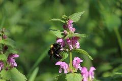 El néctar floral del néctar de la primavera goza del abejorro Fotos de archivo