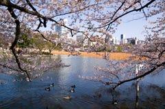 El nadar bajo los flores de cereza Imágenes de archivo libres de regalías