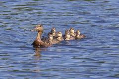 El nadar con el pato de la madre foto de archivo libre de regalías